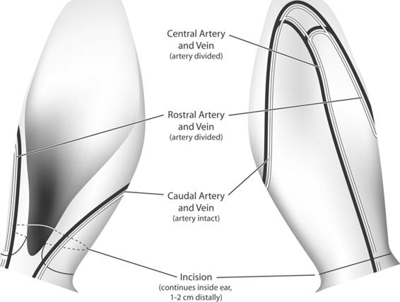 Animal Models of Ischemic Wound Healing   SpringerLink
