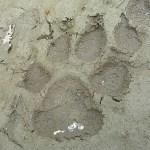 Vargspår. Denali National Park
