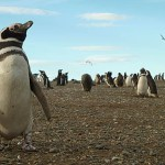 Pingviner. Isla Magdalena