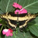 Fjäril. La Fortuna