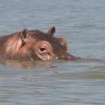 Flodhäst. Lake Chamo