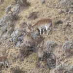 Ibex. Simien Mountains National Park (U)