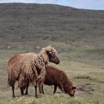 Färöiska får. Klaksvik. Bordoy