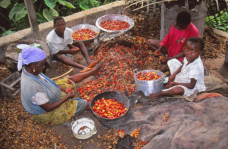 Tillverkning av palmolja. Kakum
