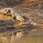 Krokodil. Mole National Park