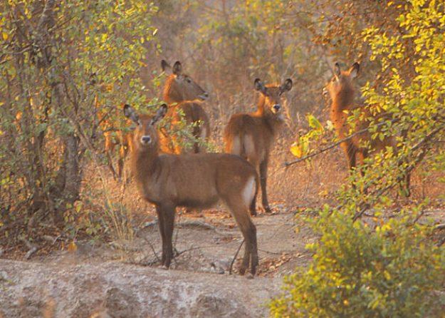 Antiloper. Mole National Park