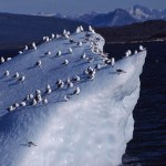 Isberg med måsar. Nuuk