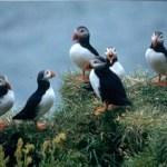 Lunnefåglar. Vik
