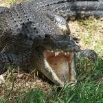 Krokodilfarmen. Chennai
