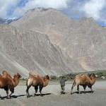 Bhaktriska kameler. Nubra Valley