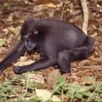Svart makak. Tangkoko National Park