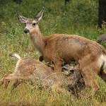Vitsvansad hjort. Waterton Lakes National Park (U)