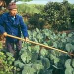 Grönsaksodling. Simao