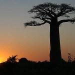 Baobabträd. Avenue of Baobabs