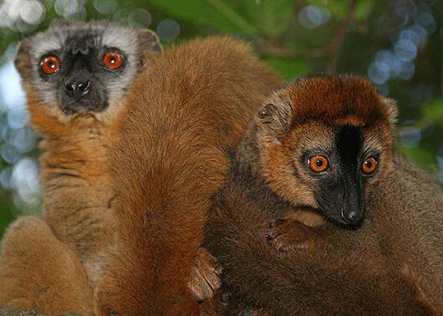 Redfronted brown lemur. Isalo National Park