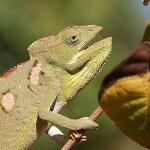 Kameleont. Tsingy de Bemaraha