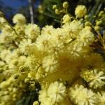 Mimosa. Levada Dos Tornos mellan Monte och Camacha