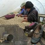 Kaffebönor rensas. Miraflor