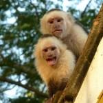 Två ilskna apor. Isla de Ometepe
