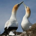 Australiska havssulor. Cape Kidnappers