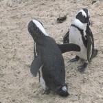 Afrikanska pingviner. Boulders