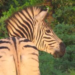 Burchells zebra. Imfolozi National Park