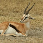 Thomsongazell. Ngronogoro National Park