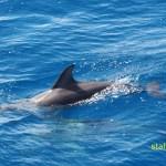 Delfiner. Ponta Delgada