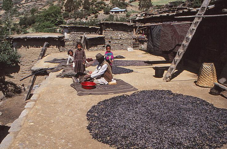 Torkning av körsbär. Humla Valley. Nepal