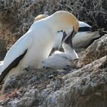 Australisk havssula. Cape Kidnappers
