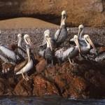 Pelikaner. Islas Ballestas