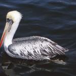 Pelikan. Islas Ballestas