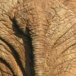 The (elephant-) End. Imfolozi National Park