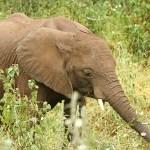 Ung afrikansk elefant. Lake Manyara