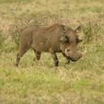 Vårtsvin. Ngorongoro National Park