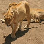 Lejon. Ngorongoro National Park (U)