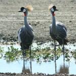 Krontranor. Ngorongoro National Park (U)