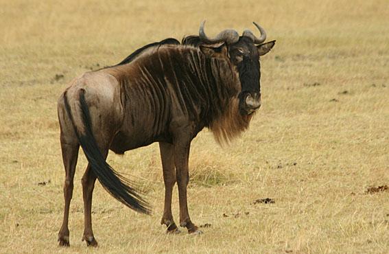 Gnu. Ngorongoro National Park (U)