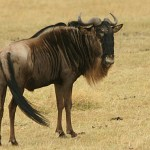 Gnu. Ngorongoro National Park (U)