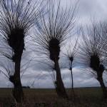 Hamlade pilträd. Rimov / Rimau