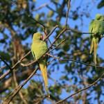 Gröna parakiter. Keoladeo (U)