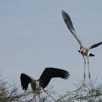 Flygträning. Painted stork