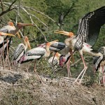 Painted stork. Keoladeo