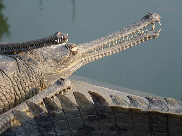 Gavial. Chitwan National Park (U)