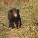 Läppbjörn. Chitwan National Park. Nepal (U)