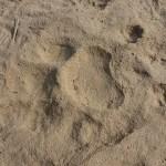 Tigerspår. Chitwan
