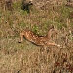 Axishjort. Chitwan