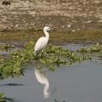 Egretthäger. Chitwan