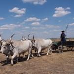 """Grey cattle"". Pustan. Hortobagy National Park (U)"