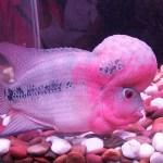 Blomkålshuvudsfisk. Akvariet. Goa